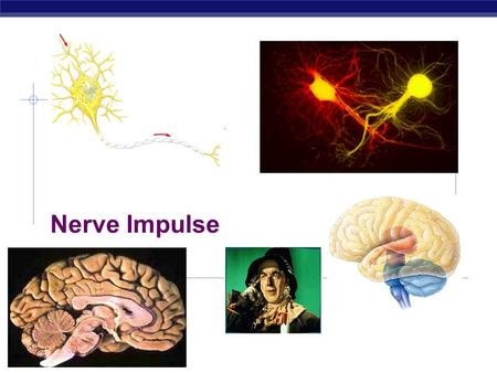 Biology 12 Nerve Impulse. Biology Main idea:Transmission of a Nerve Impulse  Is how the nervous message moves along the length of a neuron.
