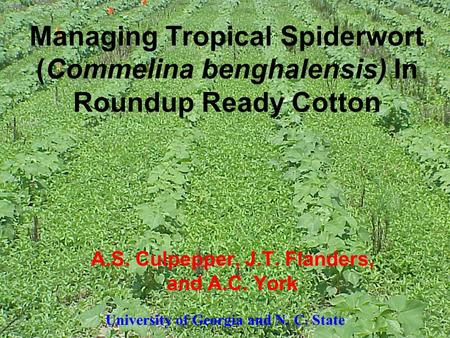 Managing Tropical Spiderwort (Commelina benghalensis) In Roundup Ready Cotton A.S. Culpepper, J.T. Flanders, and A.C. York University of Georgia and N.