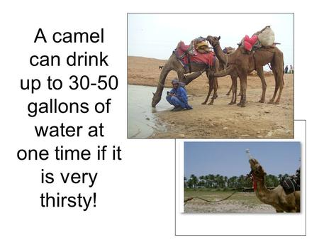A camel can drink up to 30-50 gallons of water at one time if it is very thirsty!