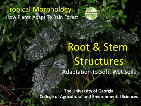 Tropical Morphology How Plants Adapt To Rain Forest The University of Georgia College of Agricultural and Environmental Sciences Root & Stem Structures.