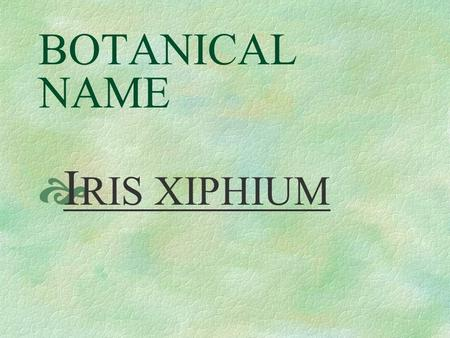 BOTANICAL NAME  I RIS XIPHIUM PRONUNCIATION  EYE - ris ZI - fee - um.
