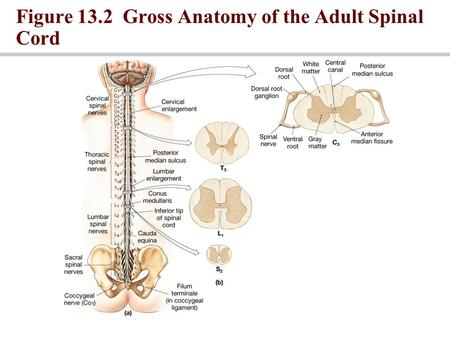 Figure 13.2 Gross Anatomy of the Adult Spinal Cord.