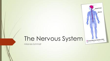 The Nervous System Miranda Schmidt. What is the nervous system?  The network of nerve cells and fibers that transmits nerve impulses between parts of.