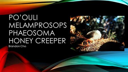 PO'OULI MELAMPROSOPS PHAEOSOMA HONEY CREEPER Brandon Cho.