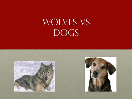 Wolves Vs Dogs. loyalty Wolves are loyal to their pack. Dogs are loyal to their family.