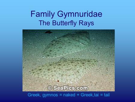 Family Gymnuridae The Butterfly Rays