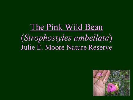 The Pink Wild Bean (Strophostyles umbellata) Julie E. Moore Nature Reserve.