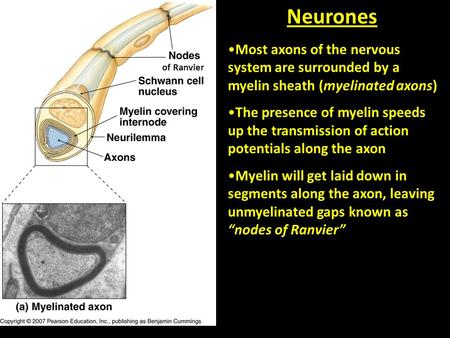 Most axons of the nervous system are surrounded by a myelin sheath (myelinated axons) The presence of myelin speeds up the transmission of action potentials.