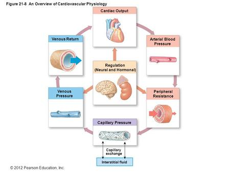 © 2012 Pearson Education, Inc. Figure 21-8 An Overview of Cardiovascular Physiology Cardiac Output Venous Return Regulation (Neural and Hormonal) Venous.