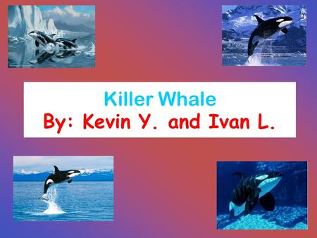 Killer Whale By: Kevin Y. and Ivan L.. Driving Question: What are the physical characteristics of a killer whale? Where are they found, on Earth and what.