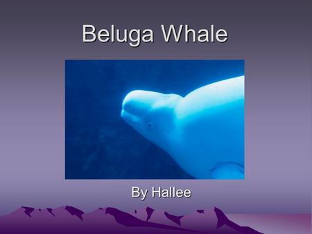 Beluga Whale By Hallee Mammal They have a backbone and four limbs. They have hair or fur. They feed their young milk from the female's body.