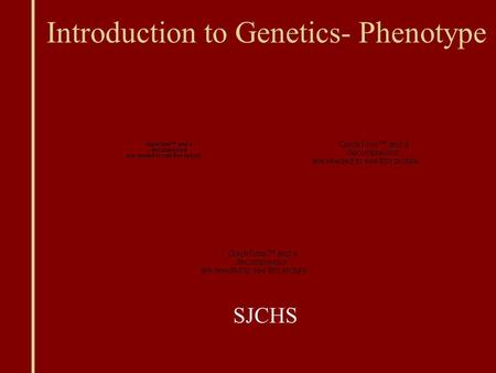 Introduction to Genetics- Phenotype SJCHS. Genes Offspring get half of their genes from either parent; inheritance is random Phenotype: traits of an organism.