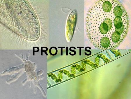PROTIST'S PROTISTS. What are Protists Any group of EUKARYOTIC organisms belonging to the kingdom Protista. Signal- celled organisms.