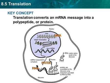 8.5 Translation KEY CONCEPT Translation converts an mRNA message into a polypeptide, or protein.