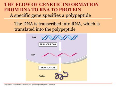 THE FLOW OF GENETIC INFORMATION FROM DNA TO RNA TO PROTEIN