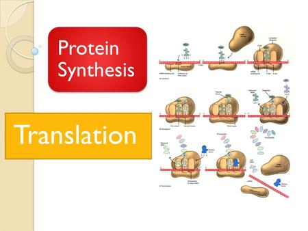 Protein Synthesis Translation. Protein Synthesis.