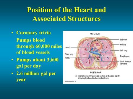 Position of the Heart and Associated Structures Coronary trivia Pumps blood through 60,000 miles of blood vessels Pumps about 3,600 gal per day 2.6 million.