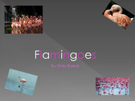 Flamingoes By: Emily Boeck.