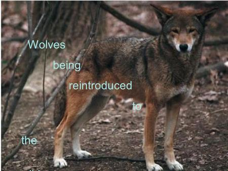Wolves being reintroduced to the wild Red Wolves the red wolves are endangered People that know a lot about red wolves are in a program that helps to.