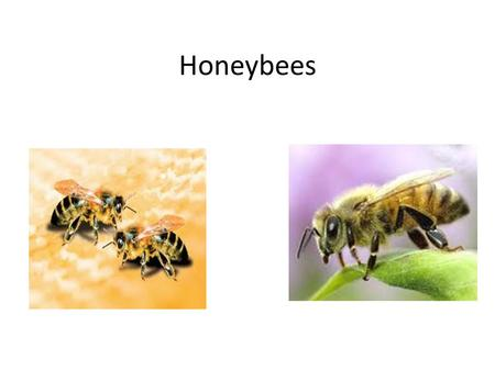 Honeybees. Introduction Do you like bees? Have you ever heard of Buzzy Bee? In the Buzzy Bee series, you will learn about Buzzy Bee and his adventures.