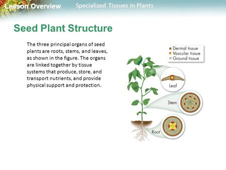 Lesson Overview Lesson Overview Specialized Tissues in Plants Seed Plant Structure The three principal organs of seed plants are roots, stems, and leaves,