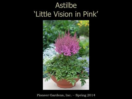 Astilbe 'Little Vision in Pink' Pioneer Gardens, Inc. – Spring 2014.