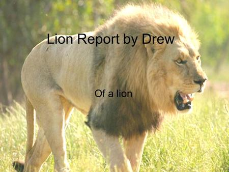 Lion Report by Drew Of a lion. Introduction What can weigh up to 500 pounds and, the king of beast. It is a lion, a lion can weigh up to 500 pounds and.