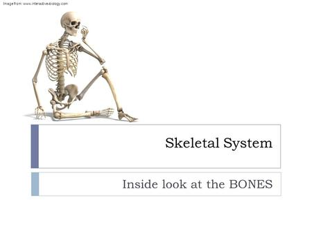 Skeletal System Inside look at the BONES Image from: www.interactive-biology.com.
