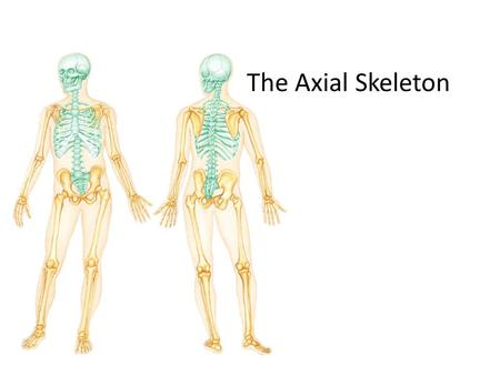 The Axial Skeleton. THE SKELETAL SYSTEM The Axial Skeleton The skeleton consists of – Bones (206) – Cartilages – Joints – also called articulations, are.