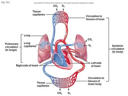 Fig. 12.2 Copyright © The McGraw-Hill Companies, Inc. Permission required for reproduction or display. O2O2 Systemic circulation (to body) Circulation.