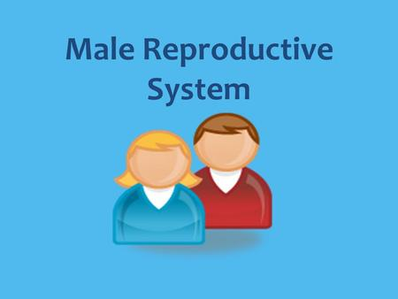 Male Reproductive System. The Male Reproductive System The functions of the male reproductive system are to produce sex hormones, produce and store sperm,