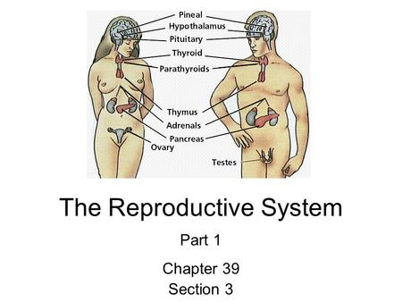 The Reproductive System Part 1 Chapter 39 Section 3.