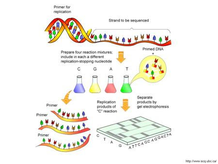 Newer method to sequence whole genomes –Uses allyl protecting group: Sequencing by Synthesis.