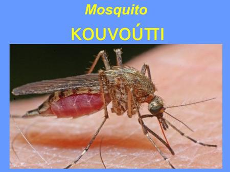 Mosquito κουνούπι. Anatomy of a mosquito The female mosquitoes suck blood of animals and humans. They especially attack when they feel the sweat and.