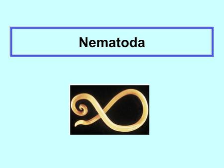 Nematoda. Ascaris lumbricoides The longest intestinal nematoda of human, ( Look like lumbricus ) Male:15-30 cm Female: 25-35 cm.