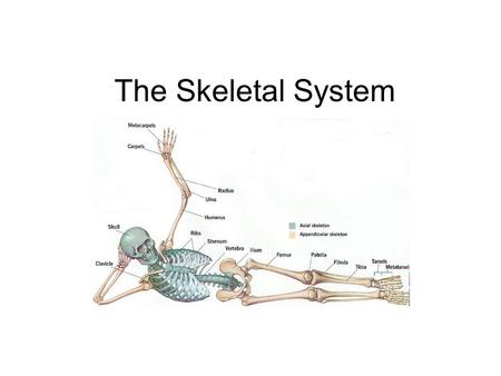 The Skeletal System.