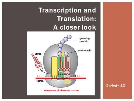 Biology 12 Transcription and Translation: A closer look.