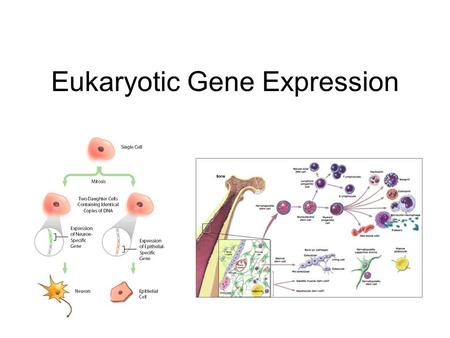 Eukaryotic Gene Expression. Introduction Every cell in a multi-cellular eukaryote does not express all its genes, all the time (usually only 3-5%) –Long-term.