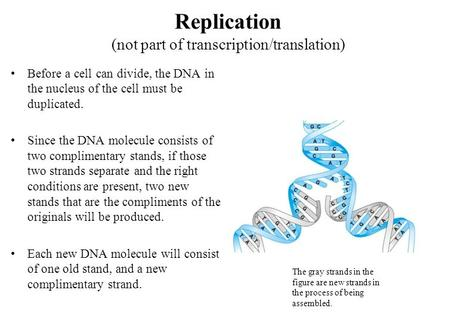 Replication (not part of transcription/translation) Before a cell can divide, the DNA in the nucleus of the cell must be duplicated. Since the DNA molecule.