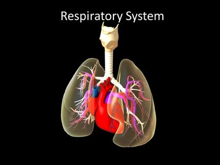 Respiratory System. Breathing (ventilation): air in to and out of lungs External respiration: gas exchange between air and blood Internal respiration: