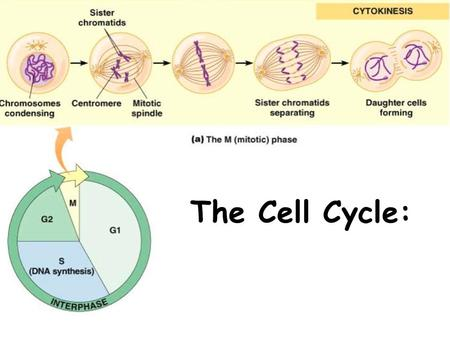 The Cell Cycle:. Why do cells divide? Reasons for Cell Division 1.Growth and Development (why you aren't the same height as you were 10 years ago) 2.Repair/Replace.