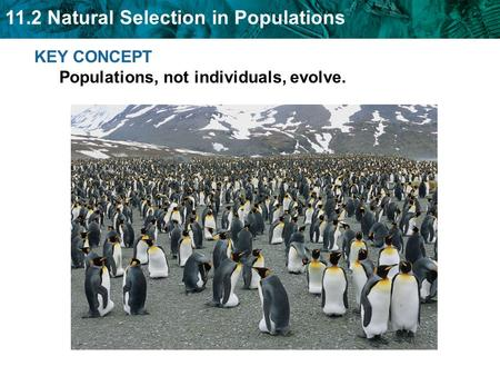 11.2 Natural Selection in Populations KEY CONCEPT Populations, not individuals, evolve.