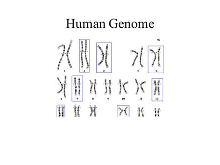 Human Genome. Human Genome Contents: 3200 Mb Genes: 1200 Mb –Genes 48 Mb –Related 1152 Mb: Pseudogenes, Gene Fragments, Introns Intergenic DNA 2000 Mb.