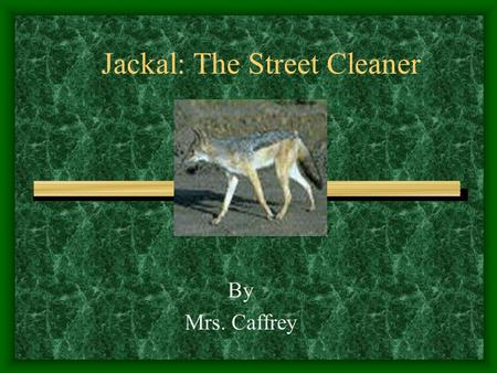 Jackal: The Street Cleaner By Mrs. Caffrey. Food Chain The jackal is a carnivore. It catches small animals for its food. It is a scavenger, so it eats.