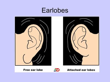 Earlobes. Widow's Peak MENDELIAN GENETICS Principles of Heredity There are two factors which determine physical features and behavior of an organism: