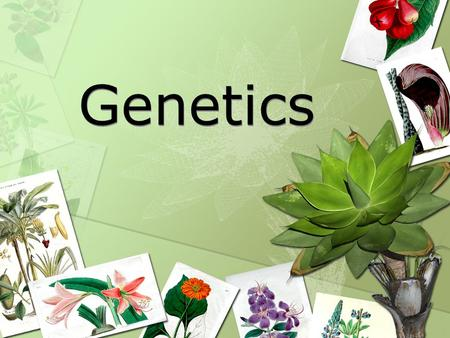 Genetics. Heredity – characteristics inherited from parents to offspring through genes Genetics - The study of genes and heredity.