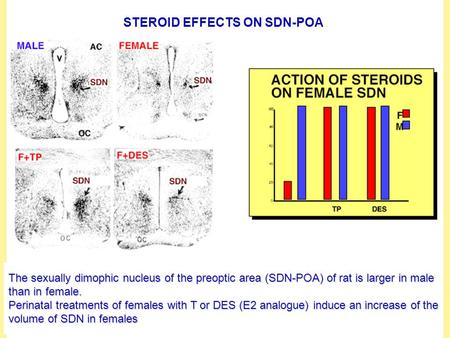 STEROID EFFECTS ON SDN-POA The sexually dimophic nucleus of the preoptic area (SDN-POA) of rat is larger in male than in female. Perinatal treatments of.