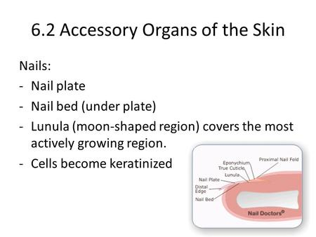 6.2 Accessory Organs of the Skin Nails: -Nail plate -Nail bed (under plate) -Lunula (moon-shaped region) covers the most actively growing region. -Cells.