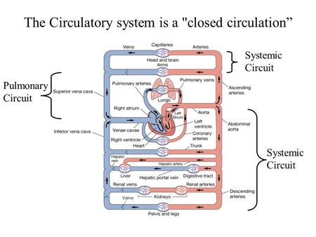 "The Circulatory system is a closed circulation"" Pulmonary Circuit Systemic Circuit Systemic Circuit."