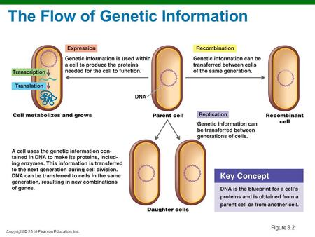Copyright © 2010 Pearson Education, Inc. Figure 8.2 The Flow of Genetic Information.